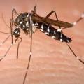 640px-Aedes_Albopictus